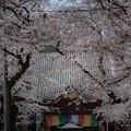 蓮馨寺の桜2