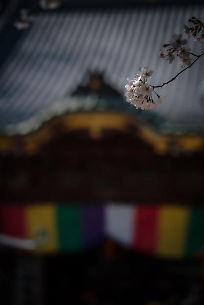 蓮馨寺の桜3