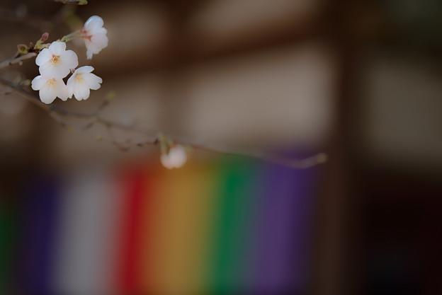 Photos: 蓮馨寺の桜4