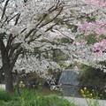 写真: 川沿いの桜