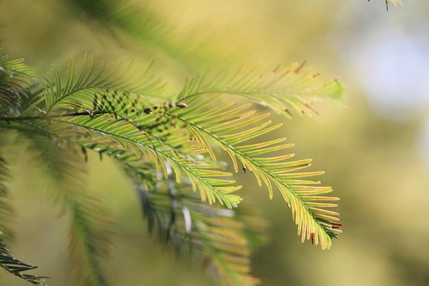メタセコイアの秋