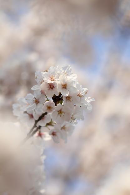 Photos: 春桜