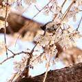 Photos: 野鳥と桜