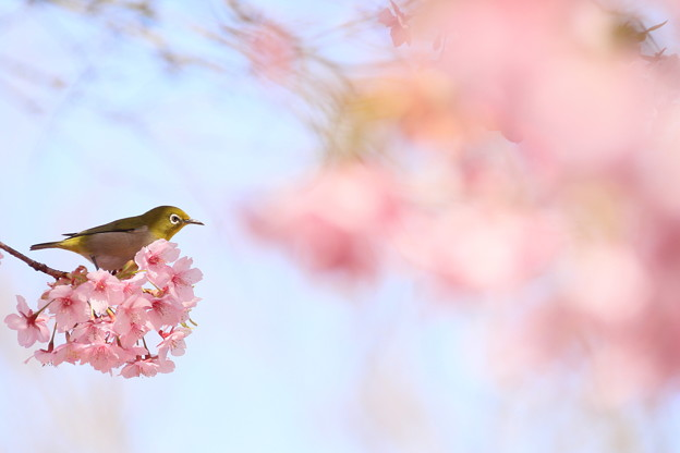 Photos: 桜とメジロ