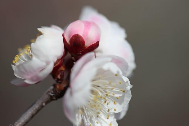 Photos: 咲き待ち