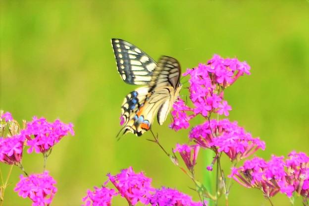 写真: アゲハがお花に~