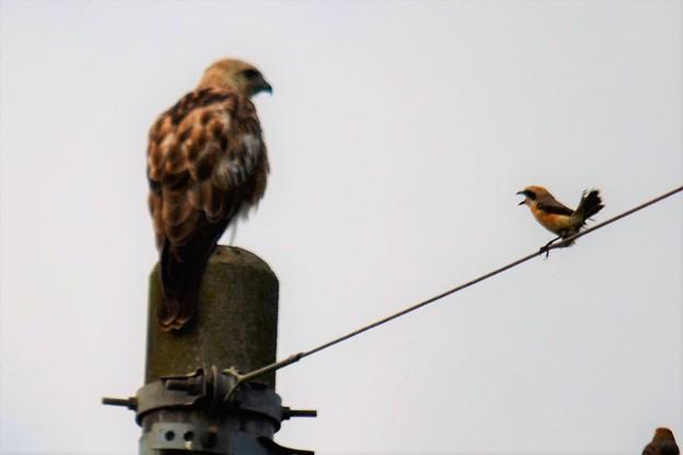写真: 猛禽の睨み合い~