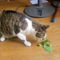写真: ネコにマタタビ~