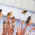 写真: 餌にとりつく小鳥さん~