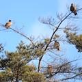 写真: トビが4羽も・・・