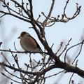 写真: ふっくらとした小鳥さん~