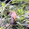 写真: 笹の上で大きな口を開けて~