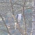 写真: 枝被りの猛禽!