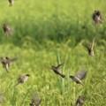 Photos: 稲穂に沢山のスズメが
