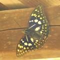 Photos: 山の中で素敵なチョウさんを~