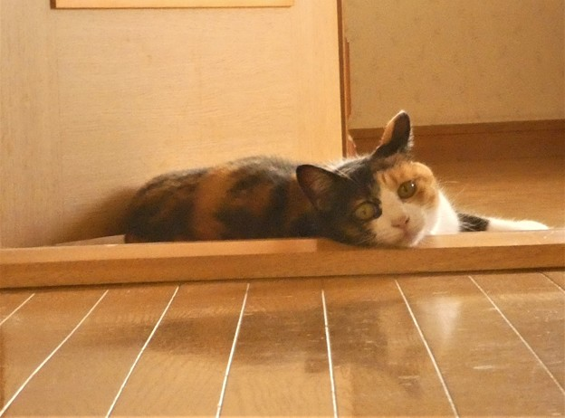 暑さに耐えるネコちゃん~