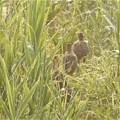 Photos: キジの若鳥!