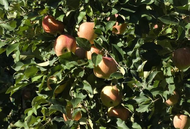 リンゴも色づいて~