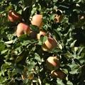 Photos: リンゴも色づいて~