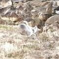 Photos: サギさんの羽ばたき