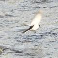 Photos: ハクセキレイの飛翔