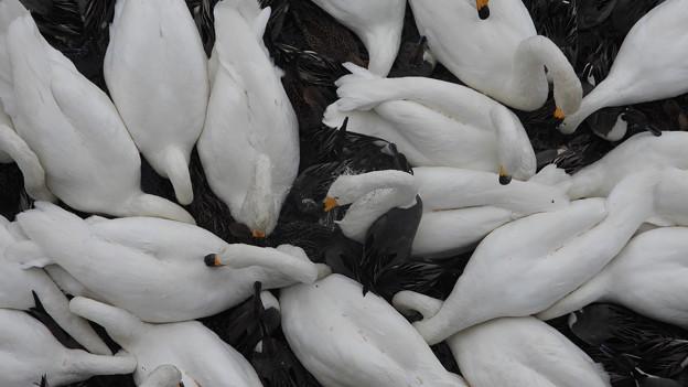餌に集中する白鳥達
