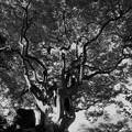 Photos: 見事な枝ぶりの木
