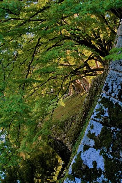 石垣から伸びる樹木