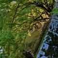 Photos: 石垣から伸びる樹木