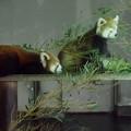 夢見ヶ崎動物公園のレッサーパンダ
