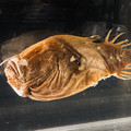 写真: ミツクリエナガチョウチンアンコウの標本