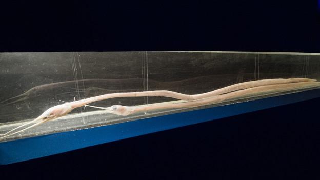 シギウナギの標本