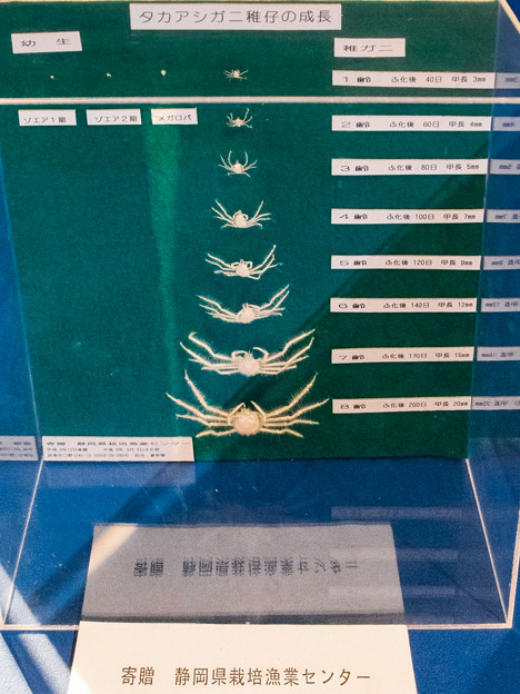 Photos: タカアシガニの稚仔の成長標本