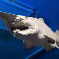 Photos: ミツクリザメの剥製