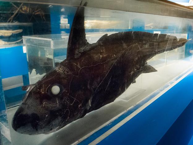 ムラサキギンザメの標本