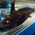 写真: ムラサキギンザメの標本