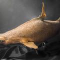 Photos: オロシザメの標本