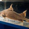 写真: オロシザメの標本