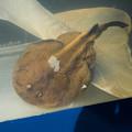 写真: シビレエイの標本