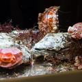 Photos: ミカドウミウシの水槽