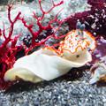 ハナオトメウミウシ