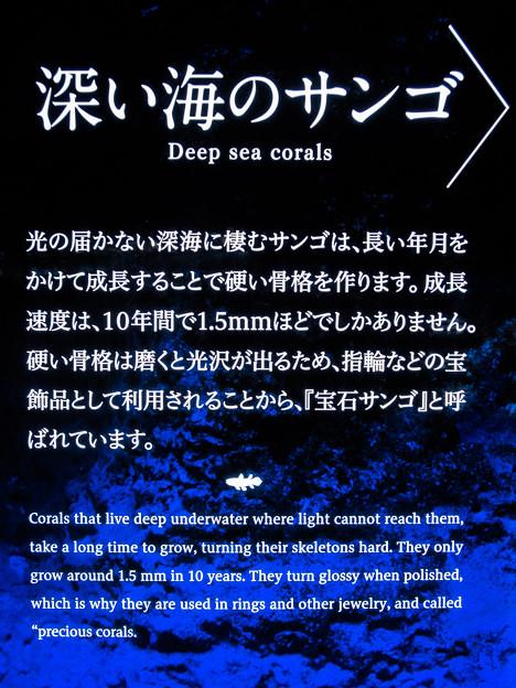 深い海のサンゴの説明板
