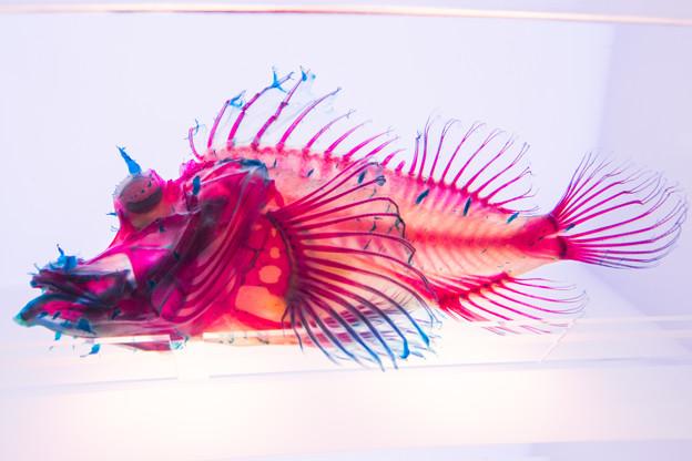 ボロカサゴの透明骨格標本