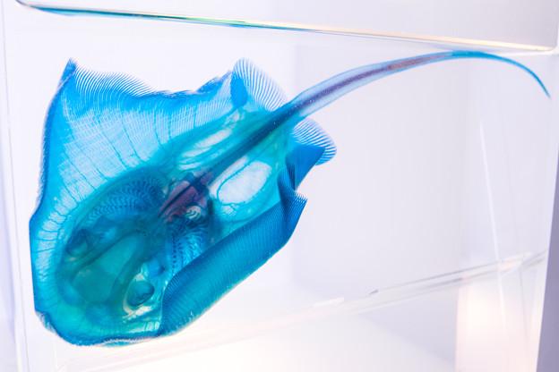 アカエイの透明骨格標本