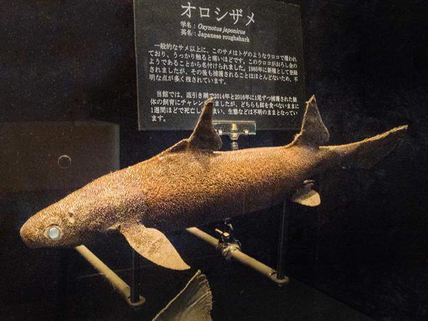 オロシザメの標本