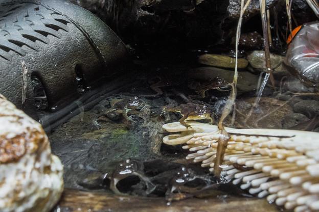 アジアウキガエルの水槽