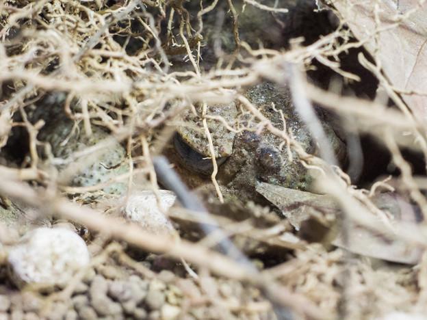 パラグアイオオヒキガエル