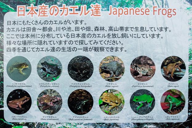 日本産のカエル達