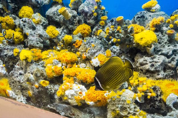 サンゴの水槽