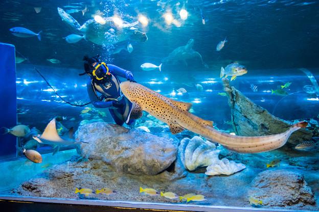 水中ショーのトラフザメ
